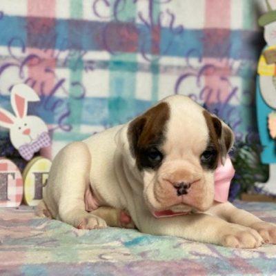 Matilda - pup Boxer female for sale at Peach Bottom, Pennsylvania