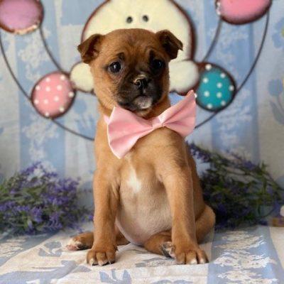 Hazel - Pomeranian Mix puppy for sale in Delta, Pennsylvania
