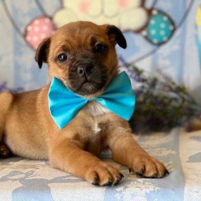 Bullet -  Pomeranian Mix pup for sale at Delta, Pennsylvania
