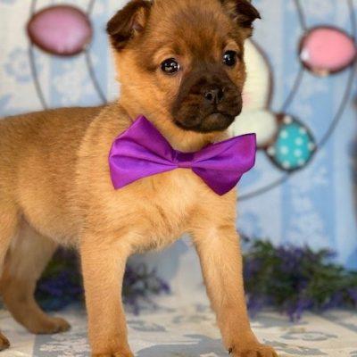 Marlo - Pomeranian Mix puppie for sale in Delta, Pennsylvania