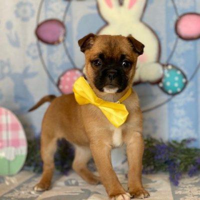 Ivana - puppy Pomeranian Mix for sale near Delta, Pennsylvania