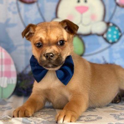 Zeus - male Pomeranian Mix pup for sale near Delta, Pennsylvania