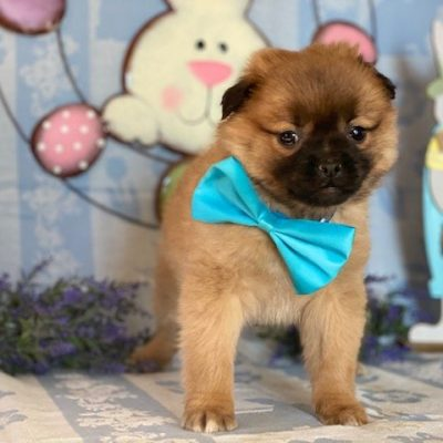 Allen - Pomeranian Mix pupper for sale in Delta, Pennsylvania