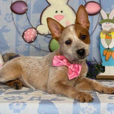 Dora - Australian Cattle Dog Red Heeler pup for sale at New Holland, Pennsylvania