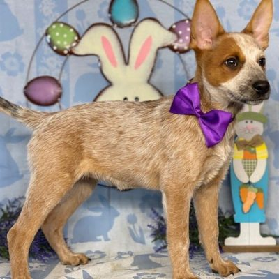 Nora - female Australian Cattle Dog Red Heeler puppy for sale in New Holland, Pennsylvania