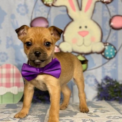 Lulu - Pug Mix female puppy for sale in New Holland, Pennsylvania