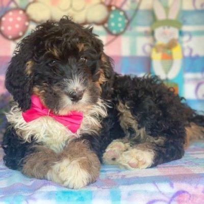 Arielle - female Bernedoodle pup for sale near Honeybrook, Pennsylvania