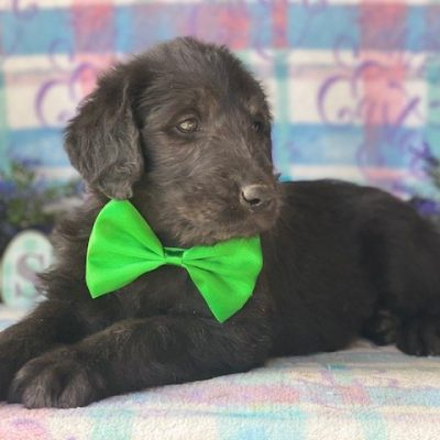 Digger - Labradoodle pup for sale near Kinzer, Pennsylvania