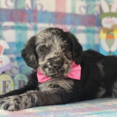 Bella- puppie Labradoodle female for sale in Kinzer, Pennsylvania