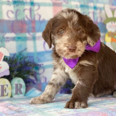 Amber - female puppie Labradoodle for sale in Kinzer, Pennsylvania