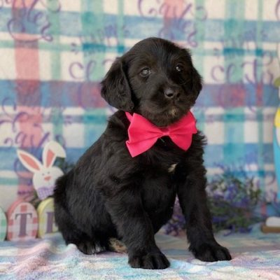 Willow - Labradoodle female pup for sale near Kinzer, Pennsylvania