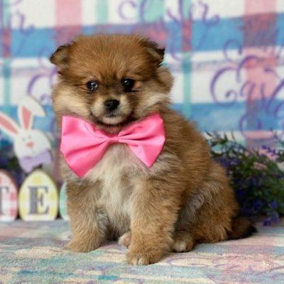 Fluffy - Pomeranian puppie for sale in Paradise, Pennsylvania