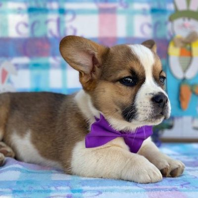 Toffee - female Corgi puppie for sale in Willow Street, Pennsylvania