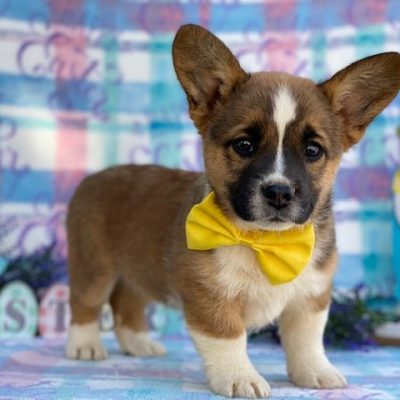 Honey - doggie Corgi for sale at Willow Street, Pennsylvania