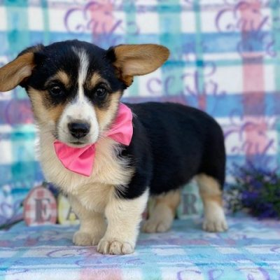 Cora - Corgi puppy for sale near Willow Street, Pennsylvania