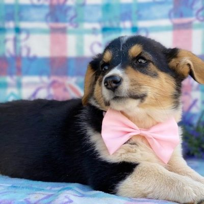 Heidi - Corgi pupper for sale at Willow Street, Pennsylvania