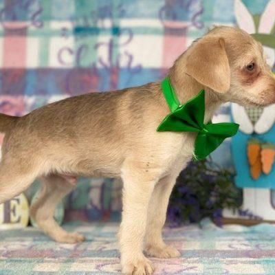 Sniffy - Yorkiepoo/Shitzu puppy for sale in Delta, Pennsylvania