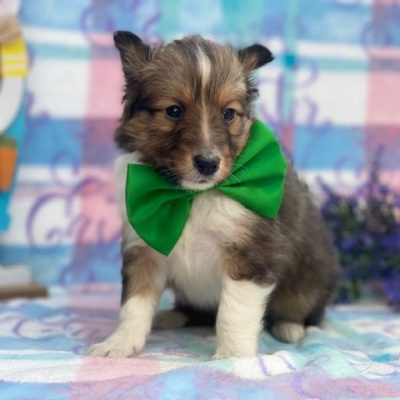 Shep - ACA Shetland Sheepdog puppie for sale at Airville, Pennsylvania