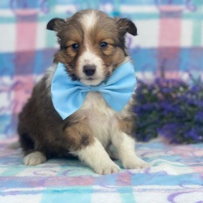 Chaser - ACA Shetland Sheepdog male pupper for sale in Airville, Pennsylvania