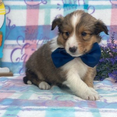 Coco - female ACA Shetland Sheepdog pup for sale near Airville, Pennsylvania