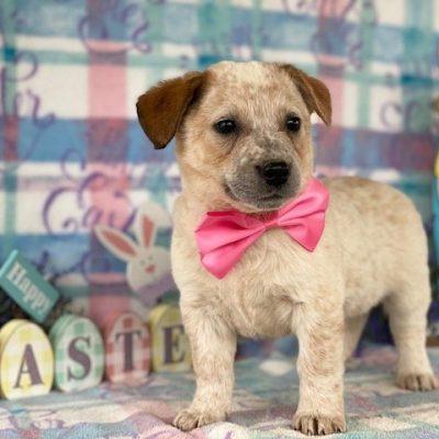 Bliss - Australian cattle dog for sale in Delta, Pennsylvania