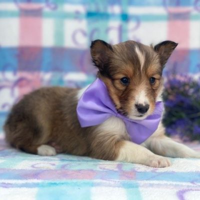 Millie - puppy ACA Shetland Sheepdog for sale at Airville, Pennsylvania