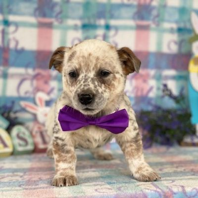Glory - female Australian cattle dog for sale near Delta, Pennsylvania