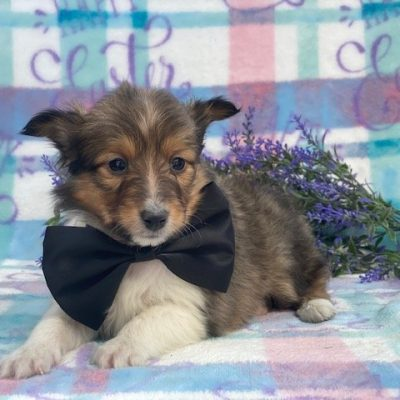 Dexter - ACA Shetland Sheepdog doggie for sale in Airville, Pennsylvania