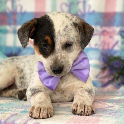 Ribbons - puppie Australian cattle dog for sale in Delta, Pennsylvania