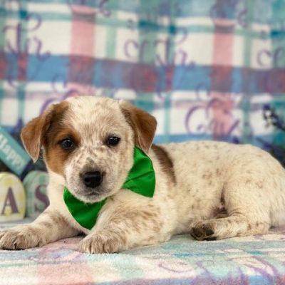 Pongo - Australian cattle dog pupper for sale at Delta, Pennsylvania