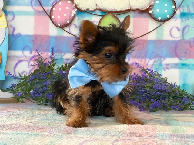 Boots - Teacup Yorkie puppie for sale at Peachbottom, Pennsylvania