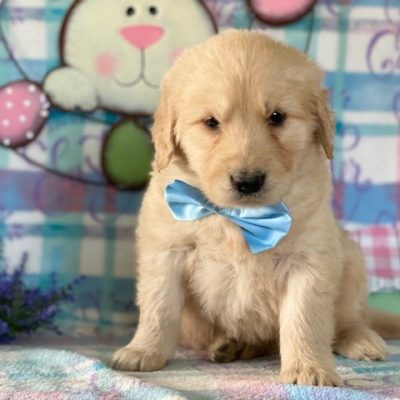 Gibson - AKC Golden Retriever pup for sale near Peach Bottom, Pennsylvania