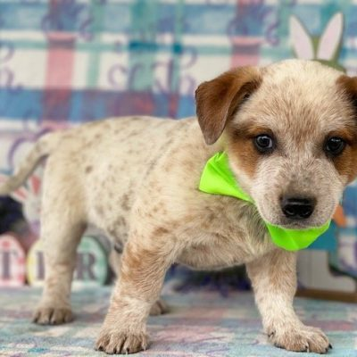 Zip - Australian cattle dog pup for sale at Delta, Pennsylvania