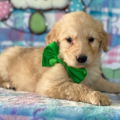 Astro - AKC Golden Retriever puppy for sale at Peach Bottom, Pennsylvania