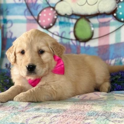 Gidget - AKC Golden Retriever doggie for sale in Peach Bottom, Pennsylvania