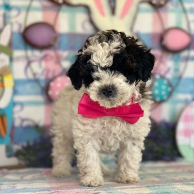 Fifi - female Miniature Poodle puppie for sale at Rising Sun, Maryland