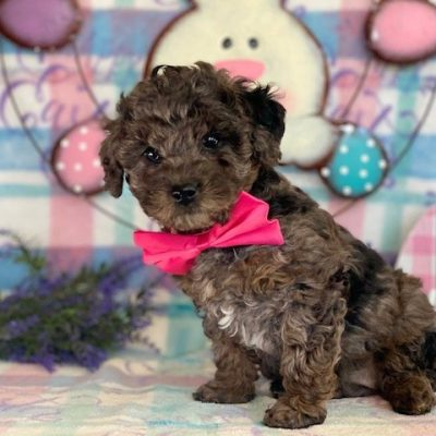 Poodle Miniature (Copy)