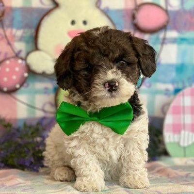 Peanut - Miniature Poodle pup for sale near Rising Sun, Maryland
