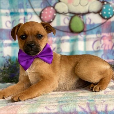 Goldie - Pug mix female puppy for sale