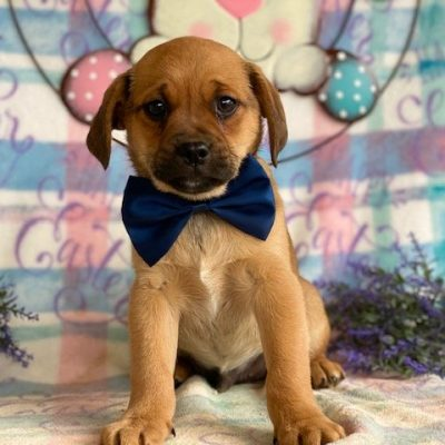 Watson - Pug mix male doggie for sale
