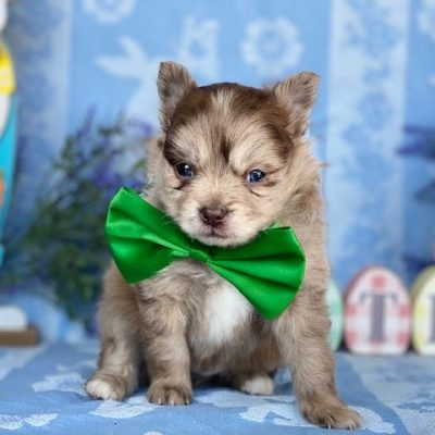 Perry - Pomeranian puppy for sale in Paradise, Pennsylvania