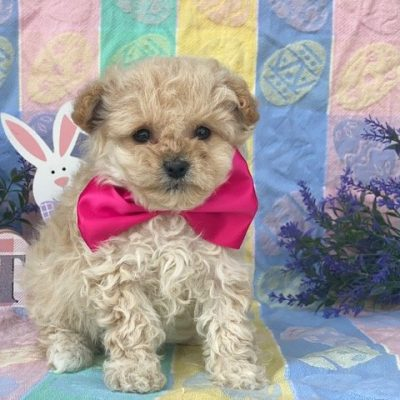 Callie - Toy Eskipoo female puppie for sale at Gordonville, Pennsylvania