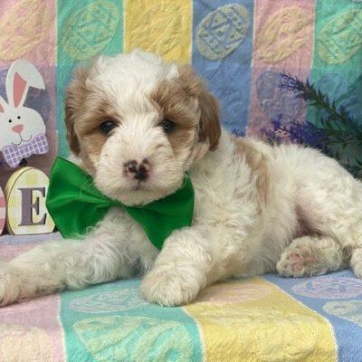 Arthur - male Shelti doodle puppy for sale in Gordonville, Pennsylvania