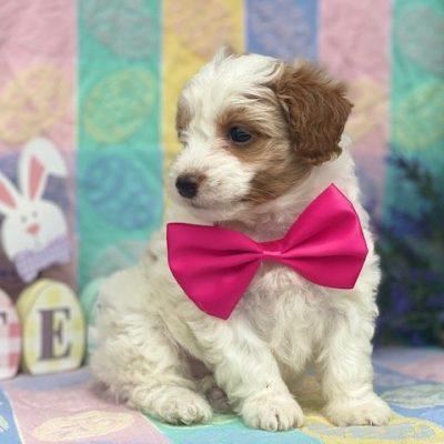 Amelia - Shelti doodle female pup for sale at Gordonville, Pennsylvania