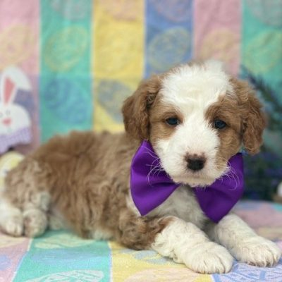 Flora - Shelti doodle female pupper for sale near Gordonville, Pennsylvania