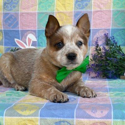 Bingo - Australian cattle dog puppy for sale in Peachbottom, Pennsylvania
