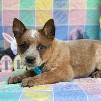Ringo - pup Australian cattle dog male for sale at Peachbottom, Pennsylvania