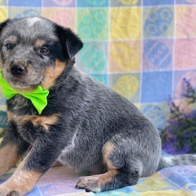 Trooper - male Australian cattle dog for sale at Peachbottom, Pennsylvania
