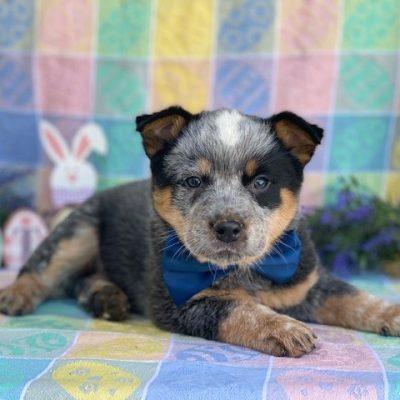 Ozzie - Australian cattle dog male puppy for sale near Peachbottom, Pennsylvania