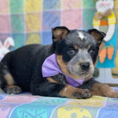 Sapphire - Australian cattle dog female pup for sale in Peachbottom, Pennsylvania